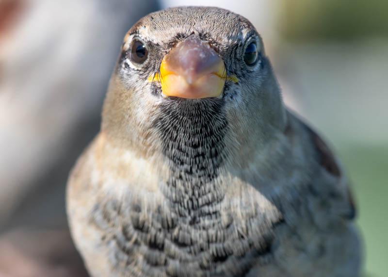 Preguntas frecuentes sobre el gorrión común