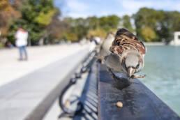 La alimentación del gorrión común
