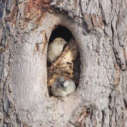 La reproducción del gorrión común